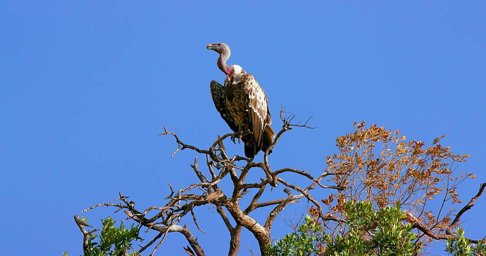 Rüppell's Griffon Vulture In Tree, Maasai Mara, Kenya, Africa