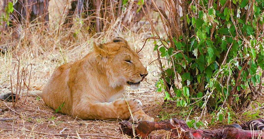 Lion Cub Grooming, Maasai Mara, Kenya, Africa