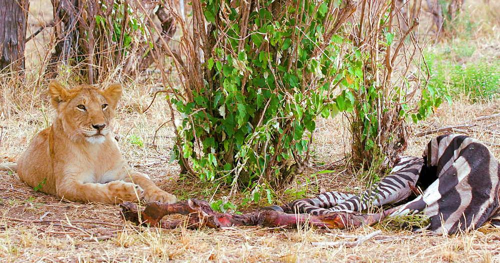 Lion Cub With Zebra Kill, Maasai Mara, Kenya, Africa