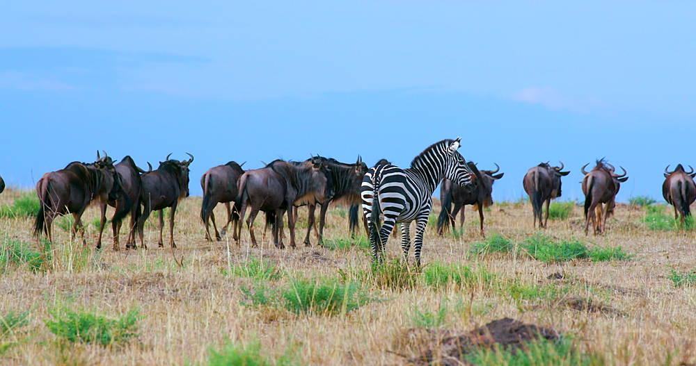 Burchell's Zebra & Blue Wildebeest, Maasai Mara, Kenya, Africa