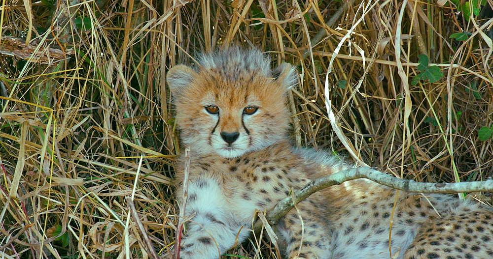 Cheetah Cub In Grass, Maasai Mara, Kenya, Africa - 1130-5835