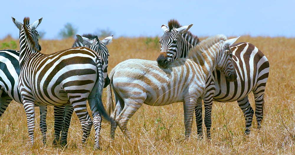 Albino Burchell's Zebra, Maasai Mara, Kenya, Africa