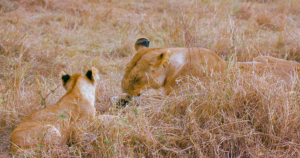 Lioness & Cub In Long Grass, Maasai Mara, Kenya, Africa