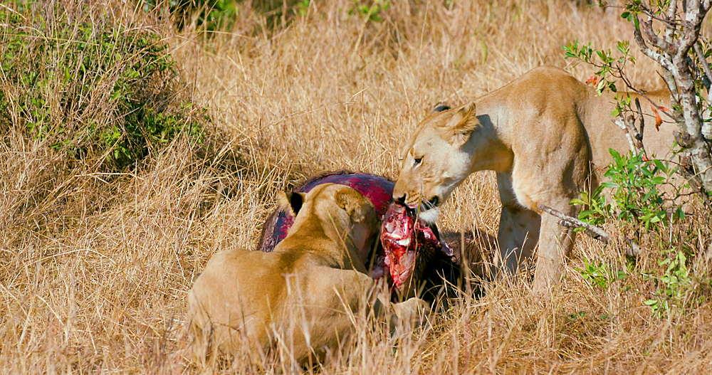 Lionesses With Kill, Maasai Mara, Kenya, Africa - 1130-5898