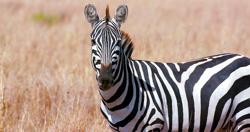 Portrait Of A Burchell's Zebra, Maasai Mara, Kenya, Africa