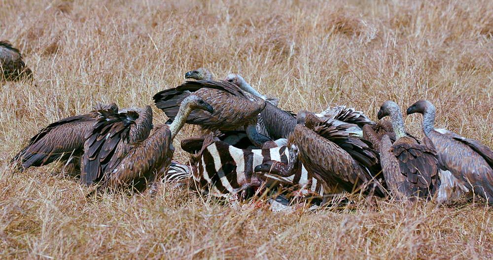 Vultures With Zebra Kill, Maasai Mara, Kenya, Africa