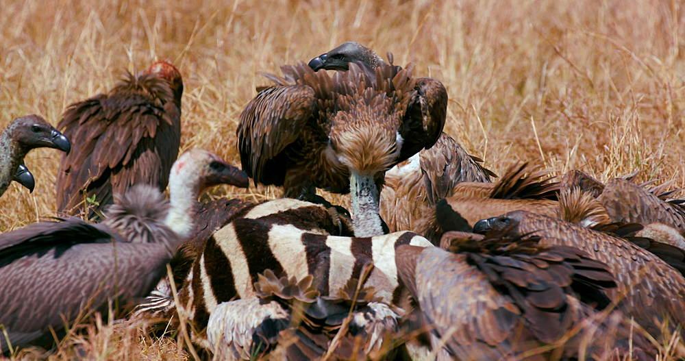 African Vultures With Zebra Kill, Maasai Mara, Kenya, Africa