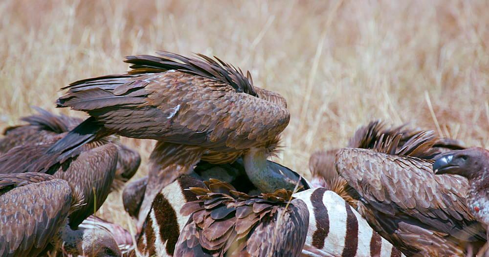Rüppell's Griffon Vultures With Zebra Kill, Maasai Mara, Kenya, Africa