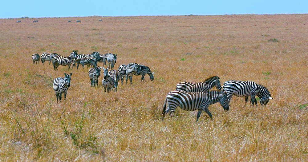 Burchell's Zebra Walking, Maasai Mara, Kenya, Africa