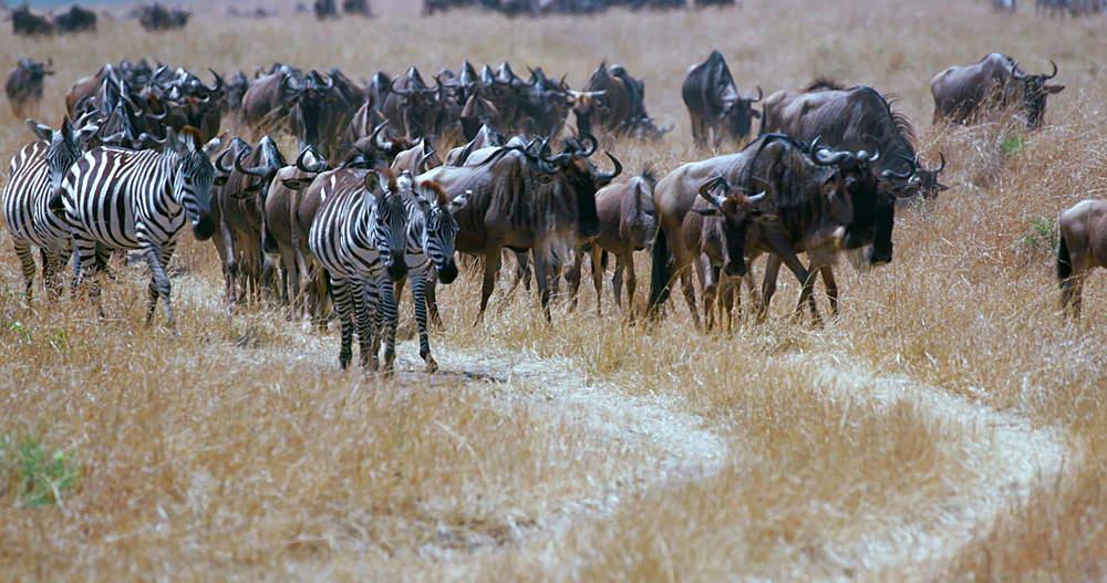 Burchell's Zebras & Blue Wildebeest, Maasai Mara, Kenya, Africa