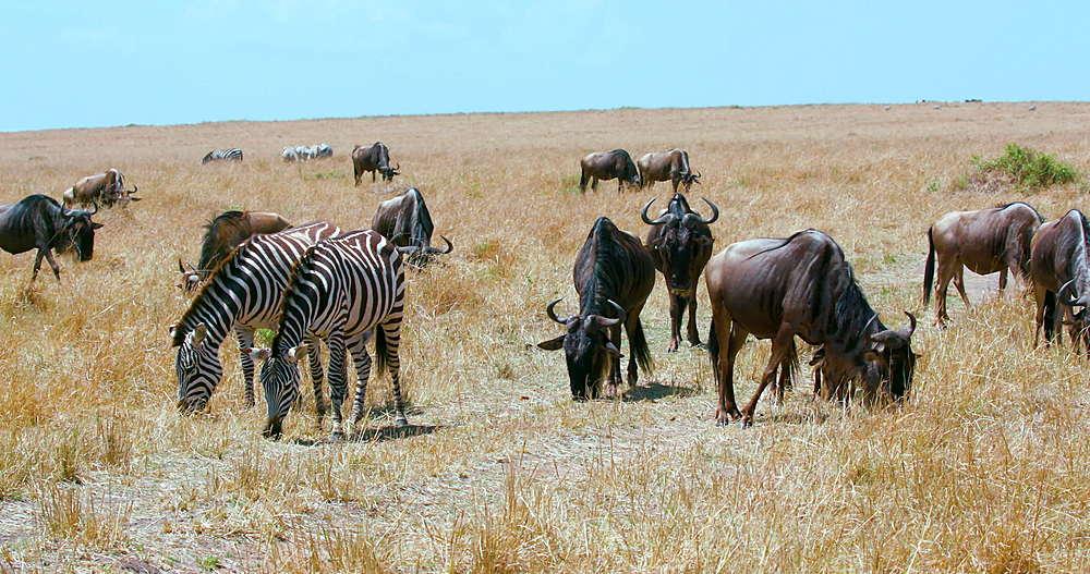Burchell's Zebras & Blue Wildebeests Grazing, Maasai Mara, Kenya, Africa