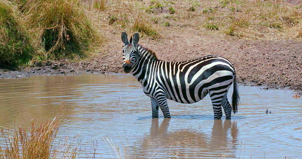 Burchell's Zebra In Water Hole, Maasai Mara, Kenya, Africa