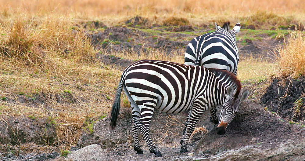 Burchell's Zebra Scratching On Mound, Maasai Mara, Kenya, Africa