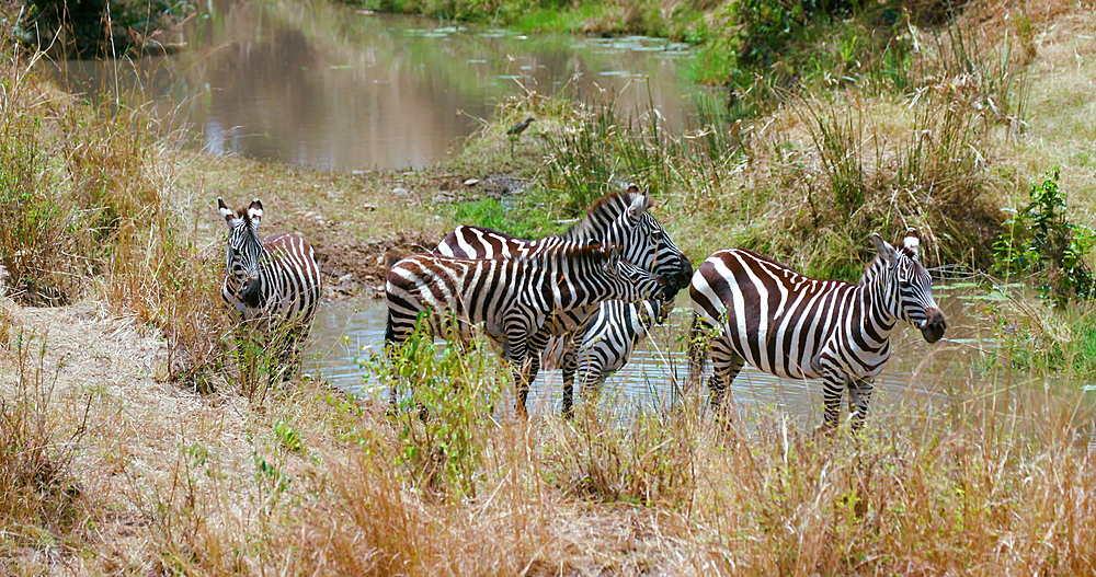 Burchell's Zebras At Waterhole, Maasai Mara, Kenya, Africa
