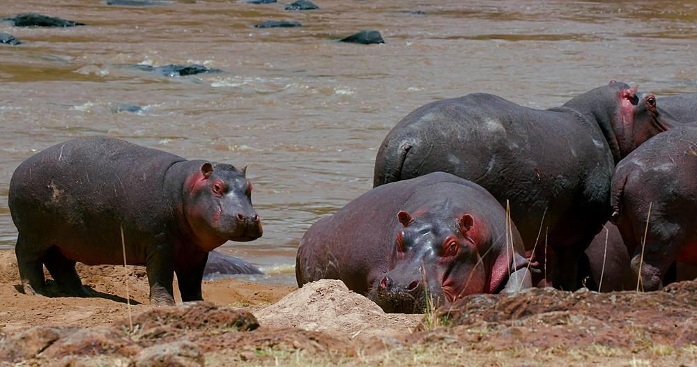 Hippopotamuses on river bank; maasai mara, kenya, africa