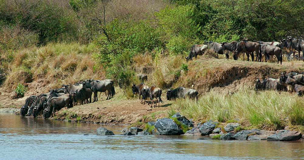 Blue wildebeest & burchell's zebra drinking; maasai mara, kenya, africa