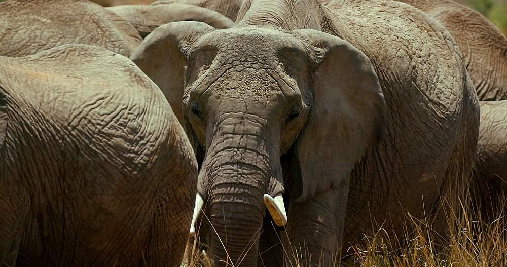 African elephant head & tusks; maasai mara, kenya, africa - 1130-5988