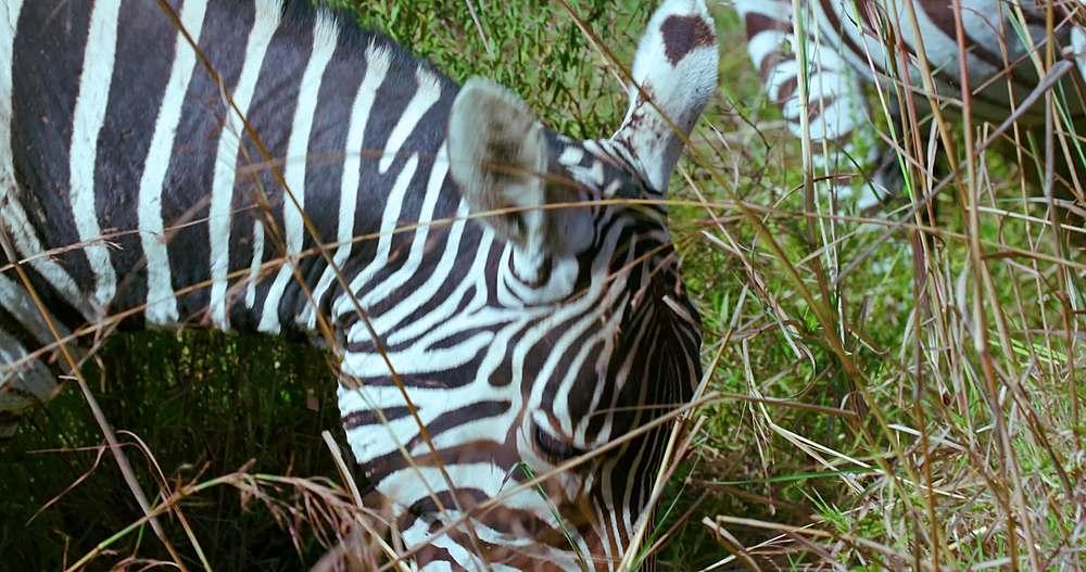 Burchell's zebra ears & eye; nairobi, kenya, africa