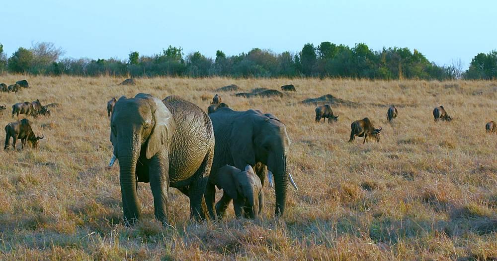 African elephants, calf & blue wildebeest; maasai mara, kenya, africa