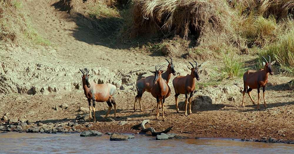 Topi on mara river bank; maasai mara, kenya, africa