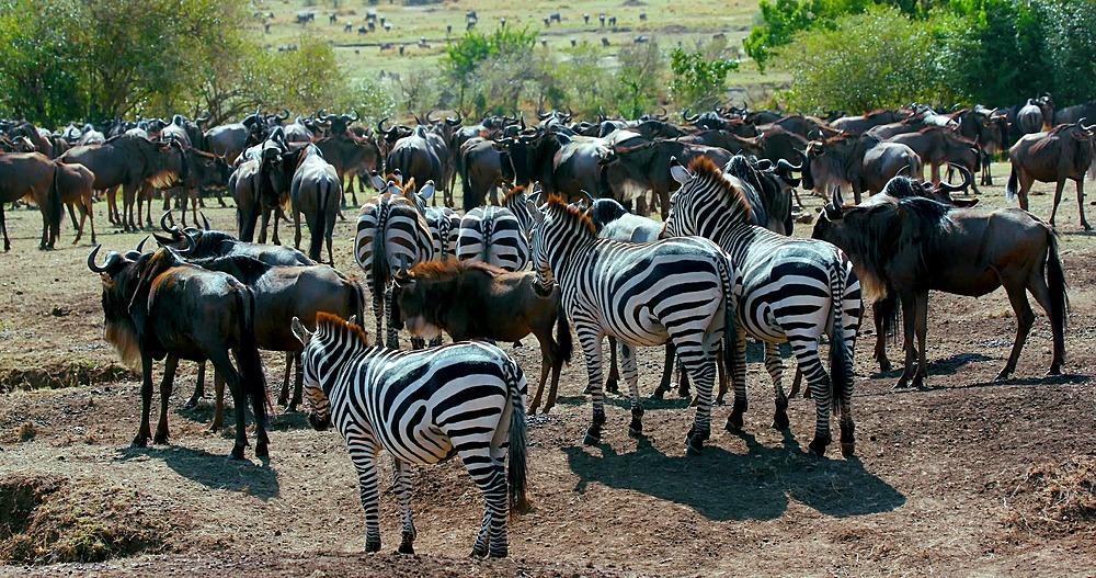 Burchell's zebra & blue wildebeest; maasai mara, kenya, africa