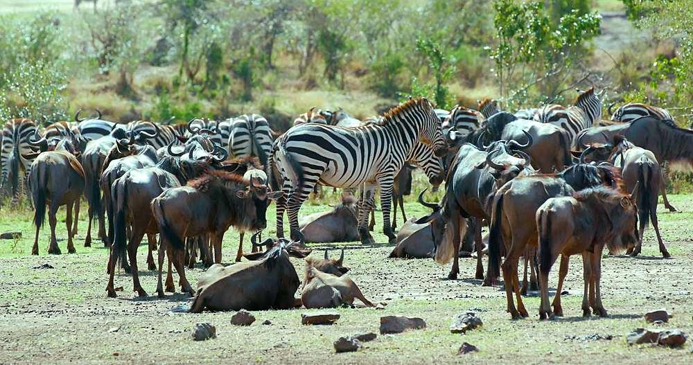 Blue wildebeest & burchell's zebra; maasai mara, kenya, africa
