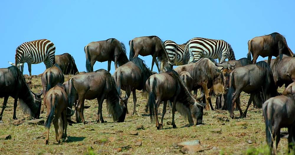 Blue wildebeest & burchels zebra on hill; maasai mara, kenya, africa