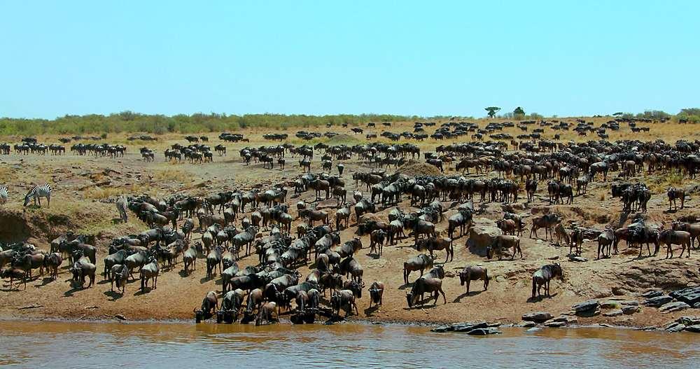 Blue wildebeest on bank of mara river; maasai mara, kenya, africa