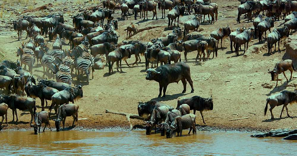 Cape buffalo, blue wildebeest & burchell's zebra; maasai mara, kenya, africa