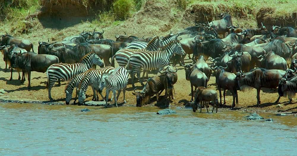 Burchell's zebra & blue wildebeest drinking; maasai mara, kenya, africa