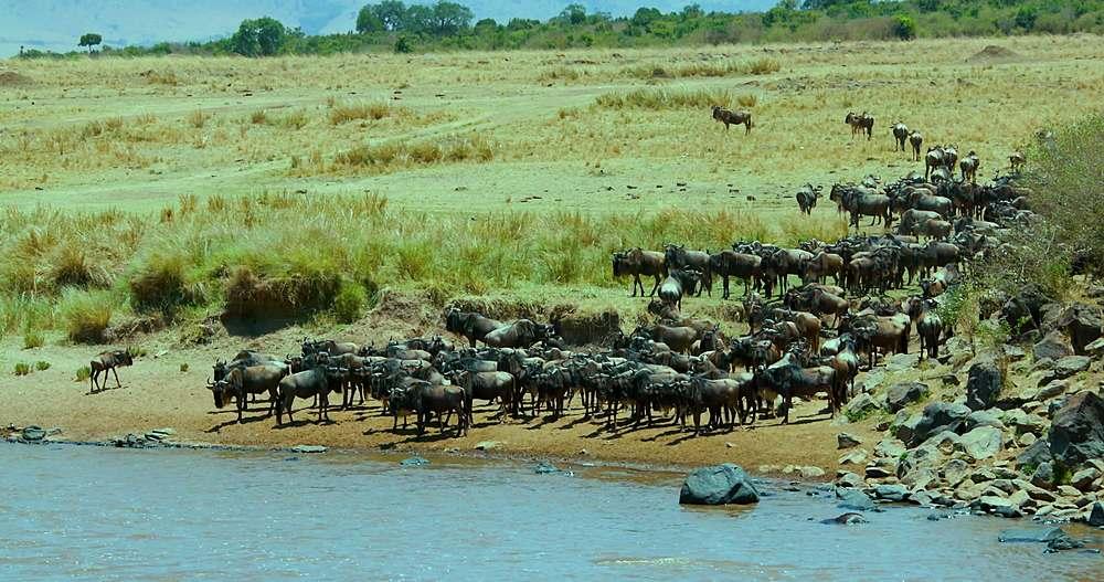 Blue wildebeest on river bank; maasai mara, kenya, africa
