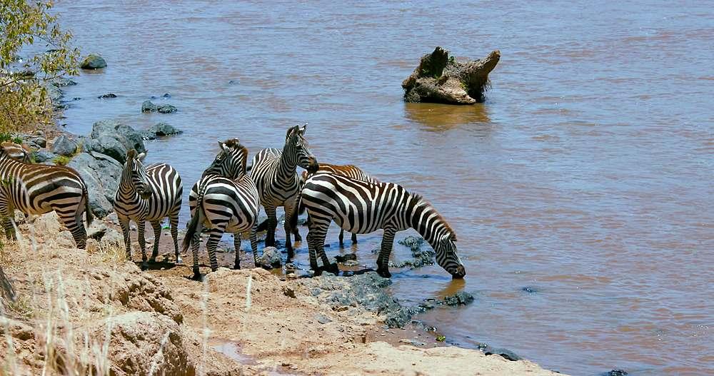 Burchell's zebra drinking in river; maasai mara, kenya, africa