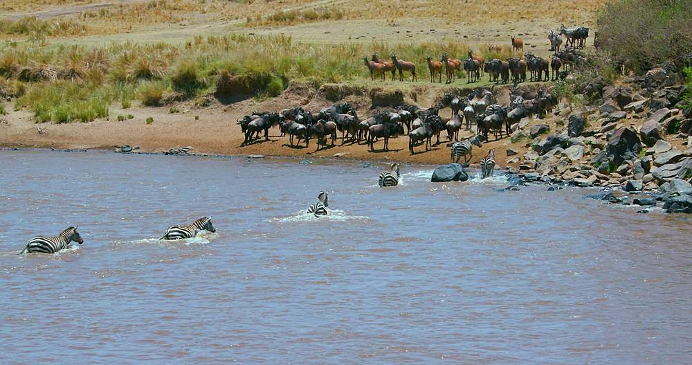 Burchell's zebra cross mara river; maasai mara, kenya, africa
