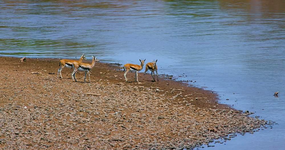Thomson's gazelles at bank of mara river; maasai mara, kenya, africa