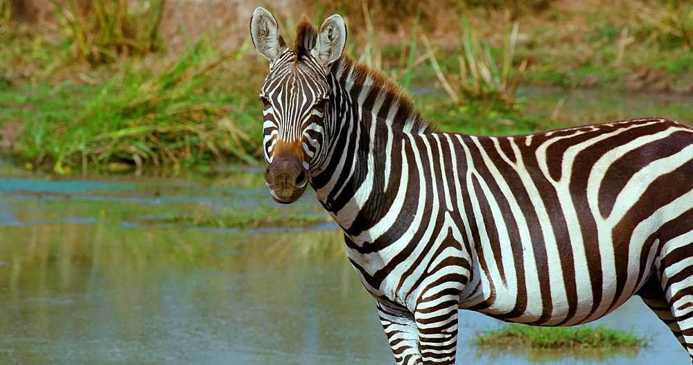 Burchells zebra walking; maasai mara, kenya, africa