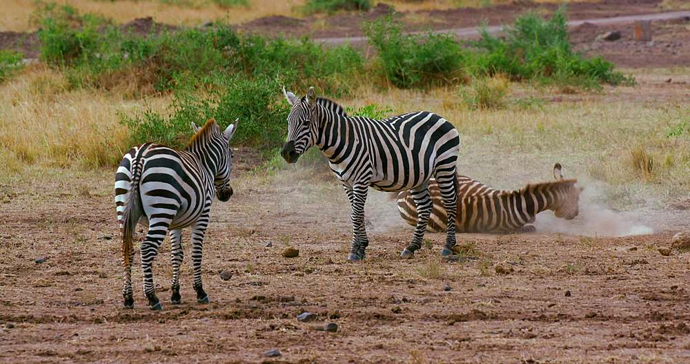 Burchells zebra rolling in dust; maasai mara, kenya, africa