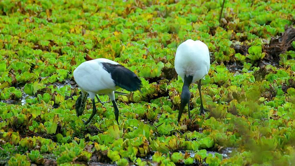 African sacred ibis & african jacana birds; maasai mara, kenya, africa