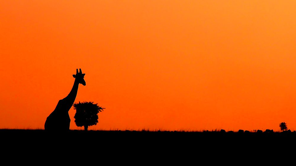 Dusk after sunset with giraffe; maasai mara, kenya, africa - 1130-6239