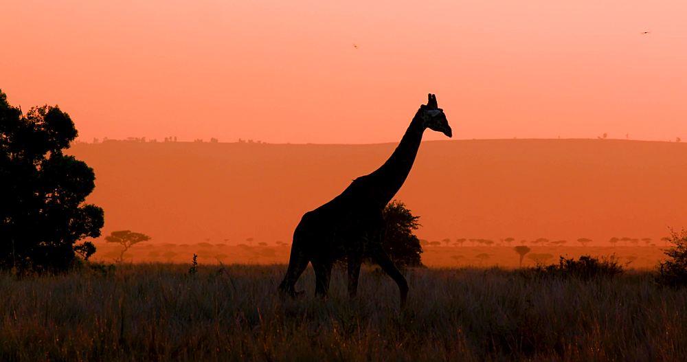 Maasai giraffe silhouette & hills; maasai mara, kenya, africa - 1130-6240