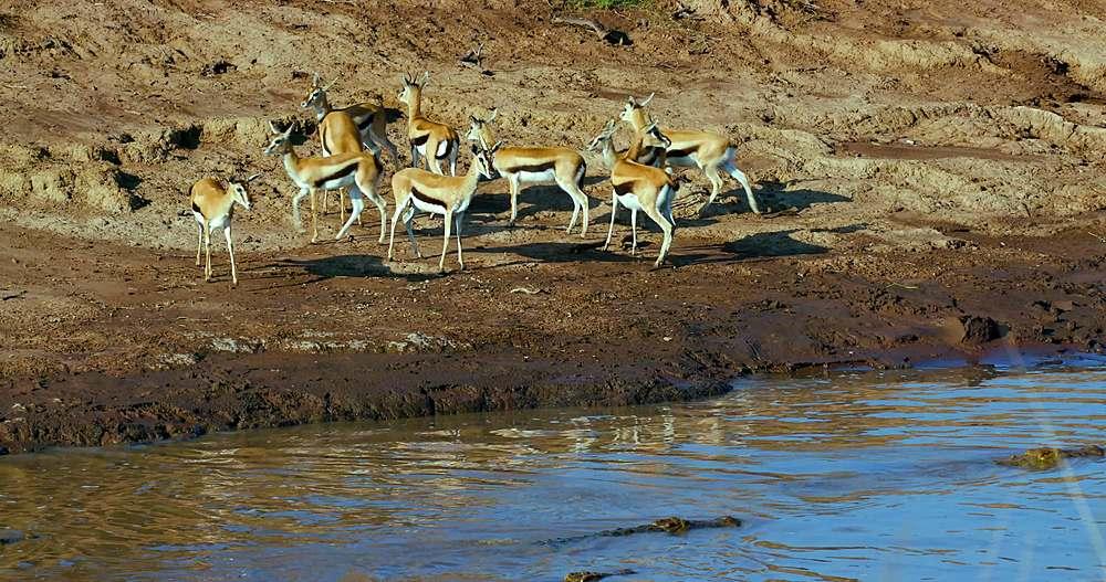 Thomson's gazelles on bank of mara river; maasai mara, kenya, africa
