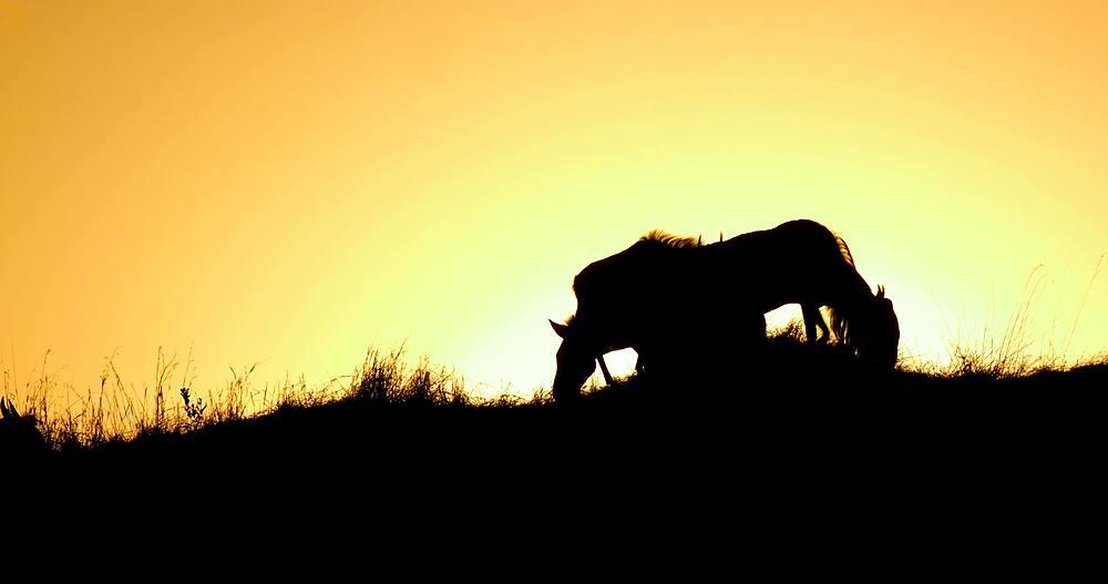 Sillohette of zebra & wildebeest; maasai mara, kenya, africa