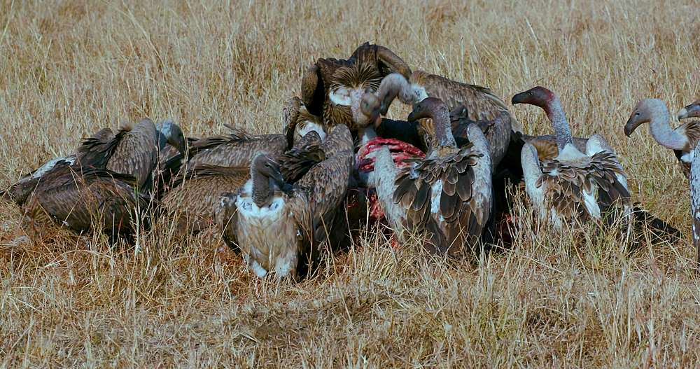 Ruppell's griffon vultures on carcase; maasai mara, kenya, africa