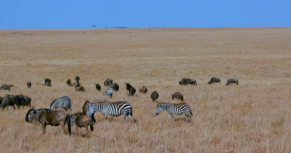Blue wildebeest & burchell's zebra grazing; maasai mara, kenya, africa