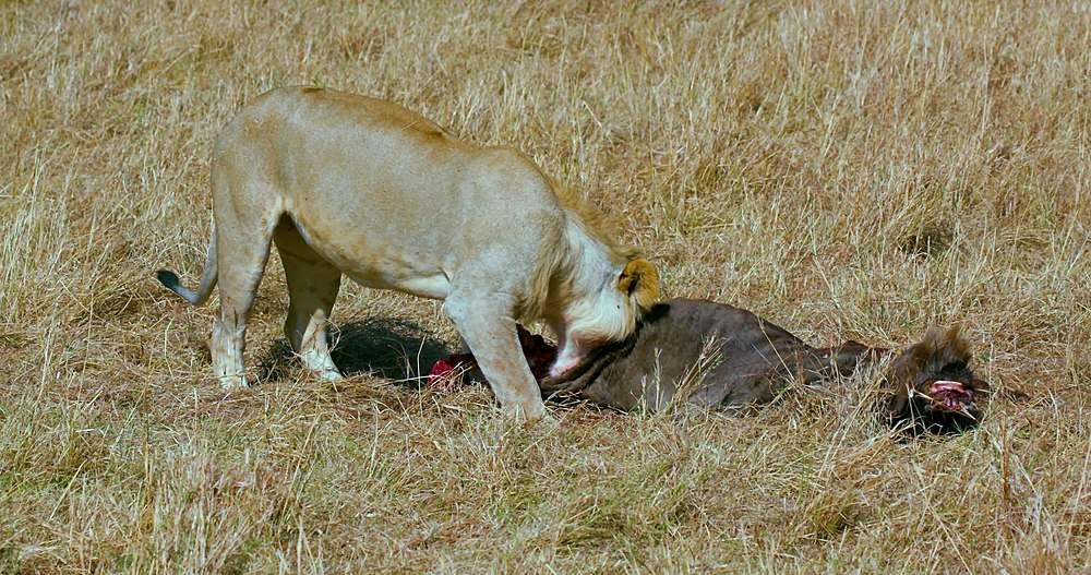 Young lion eating wildebeest in long grass; maasai mara, kenya, africa