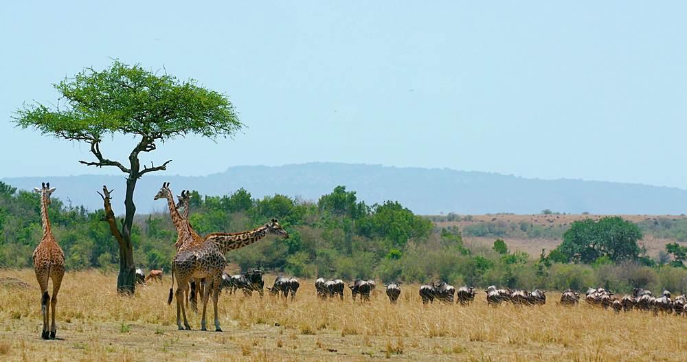 Maasai giraffe & blue wildebeest; maasai mara, kenya, africa