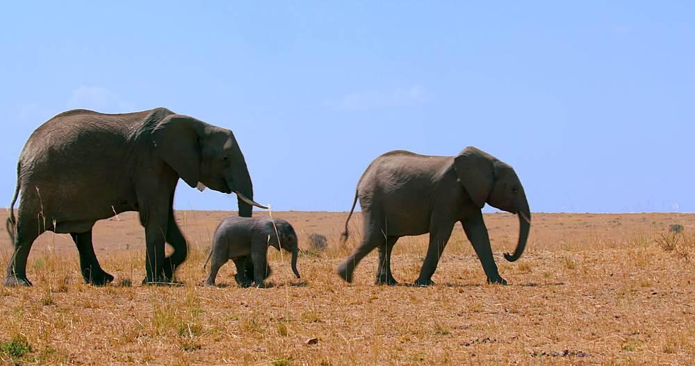 African elephants walking; maasai mara, kenya, africa