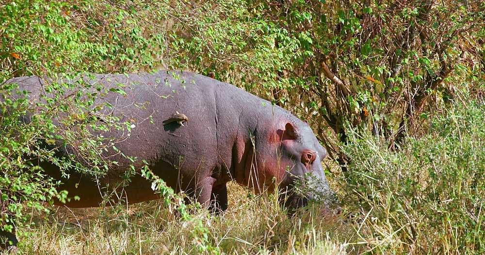 Hippopotamus in bush; maasai mara, kenya, africa