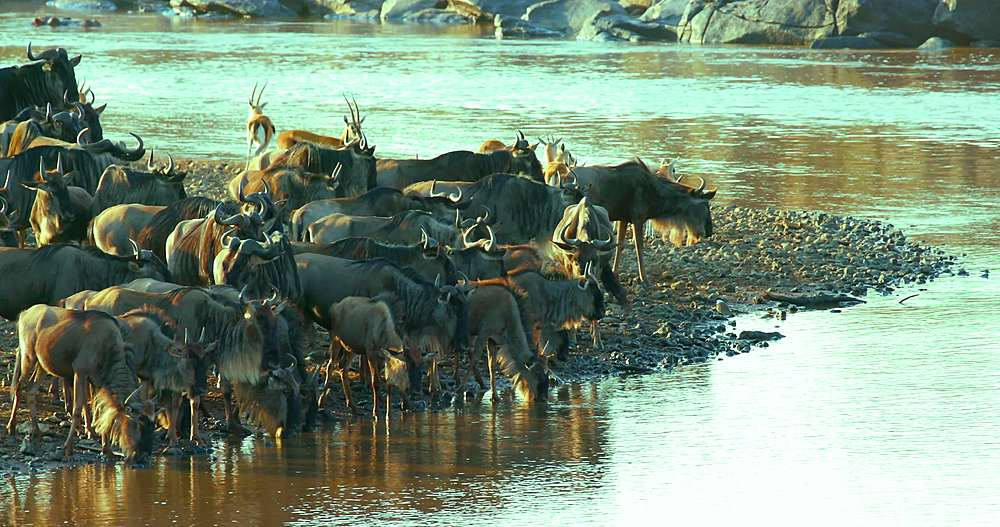 Blue wildebeest drinking in mara river; maasai mara, kenya, africa