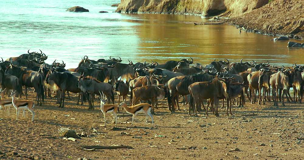 Blue wildebeest & thomson's gazelles at mara river; maasai mara, kenya, africa