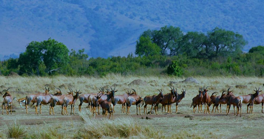 Herd of topi on track; maasai mara, kenya, africa